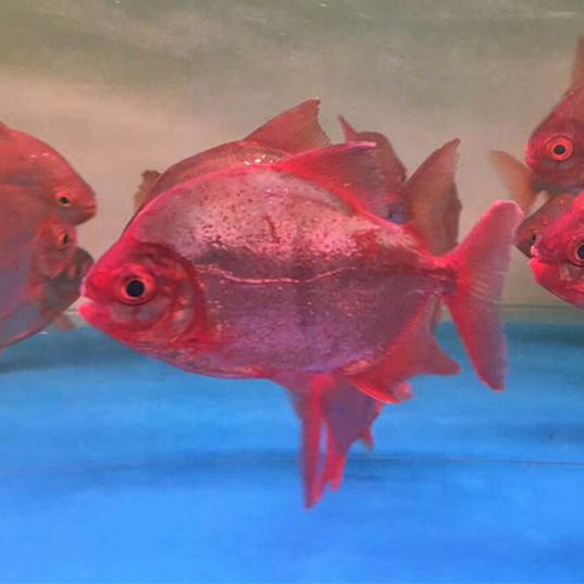 汕尾玫瑰银版鱼