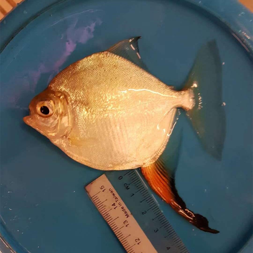 汕尾红勾银版鱼